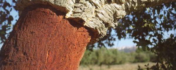 Albero da sughero - Sughera