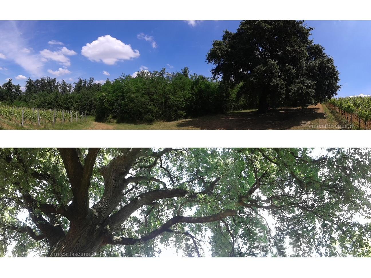 Cerro Sughera: albero di 400 anni a Tassarolo
